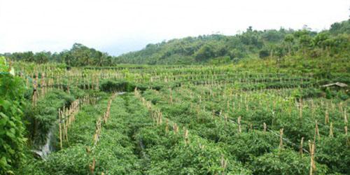 kebun organik Kaltim
