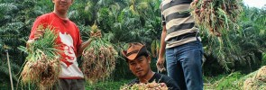 Pemuda Tani SPI di Sumatera Utara Panen Bawang Merah.