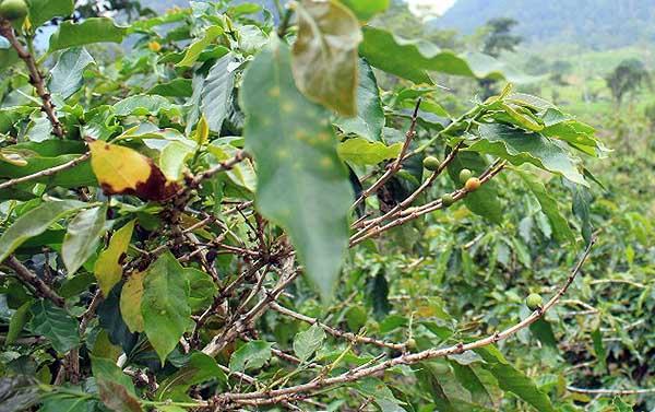 Pohon kopi gagal panen