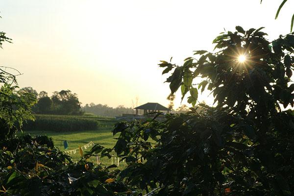 Rohdearni, Ambarisan, Sidamanik, Simalungun, Sumatera Utara, kopi ditanam bersama tanaman pangan seperti padi