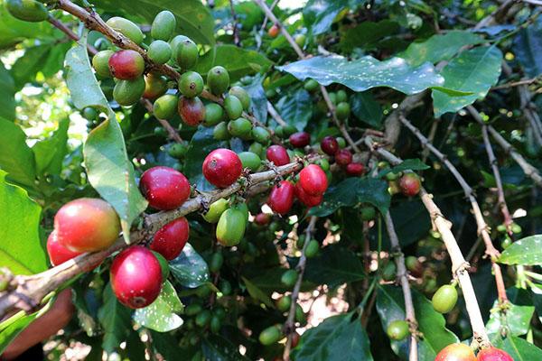 Varietas kopi arabika di Rohdearni, Ambarisan adalah catimor atau ateng.